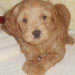 Male Australian Labradoodles For Sale