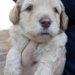Cream Labradoodle Puppies For Sale