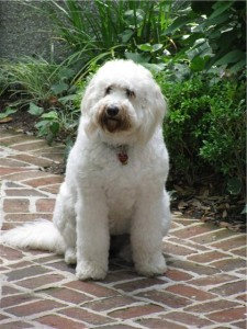 white F1 labradoodle with thick coat