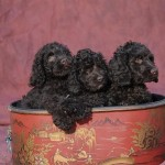 Australian Labradoodle Puppies For Sale