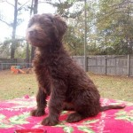 Red Labradoodle Puppies For Sale