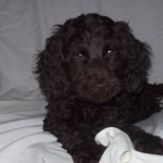 Black Labradoodle Puppies For Sale