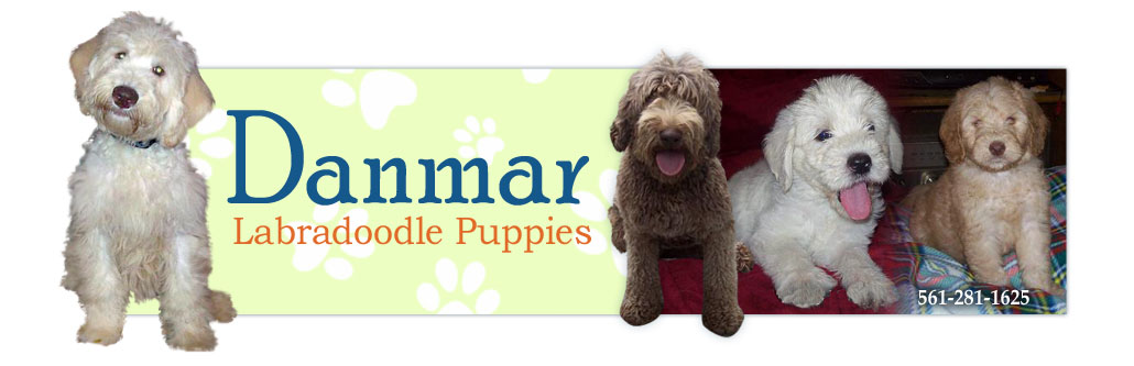 Available Labradoodle Puppies for Sale in SC & NC | Danmar