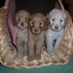 Australian Multigen Labradoodle Puppies