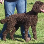 female chocolate standard poodle