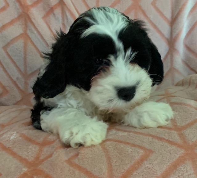 Danmar Labradoodles: Labradoodle Puppies for Sale by Breeder